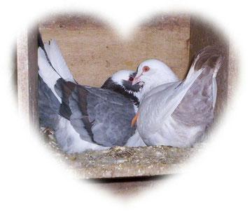 Papa et maman pigeon