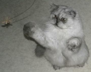 Banani beim Spiel mit Catdancer