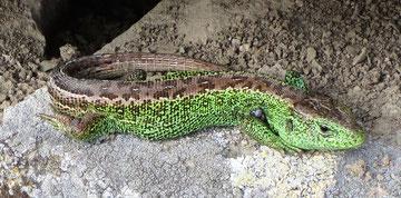Zauneidechsen-Männchen mit grün gefärbten Seiten