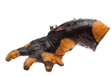Hautablösungen durch die Salamanderpest