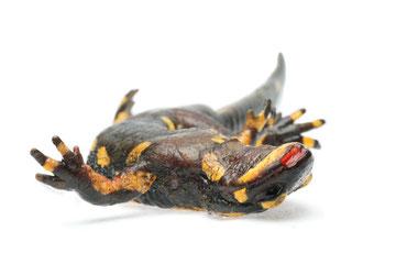 Salamanderpest