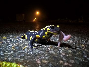 Feuersalamander frisst Regenwurm