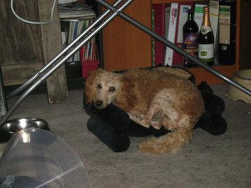 Nackter Hund auf Katzensofa