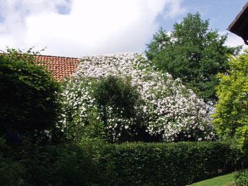 Begrünung mit Ramblerrose