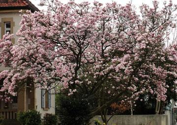 Die Blütenpracht der Bäume