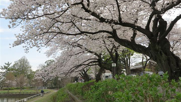水元公園土手の桜