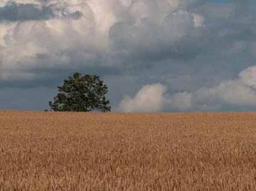 Arbre seul en son désert agricole