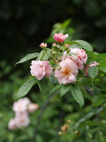 コーネリア。定番のバラですが、強くてかわいい子ですね。