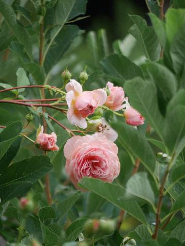 本当に丈夫なアブラハムダービー。いつも咲いています。場所もいいのでしょうか、自由自在に咲いています。