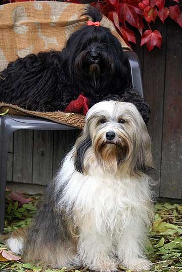 Tibet-Terrier-Hündinnen Milka und Kar-mi