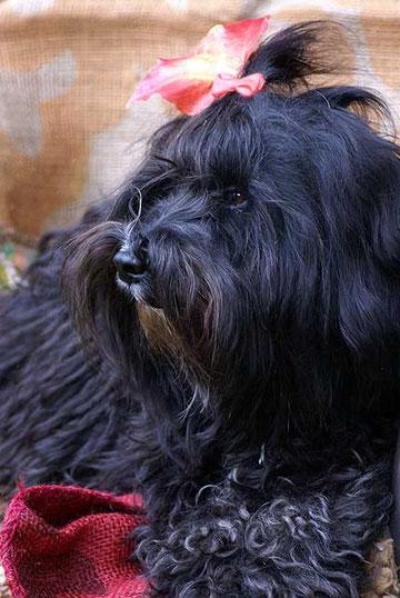 Tibet-Terrier-Hündin Srinagar Danda Champa Kar-mi