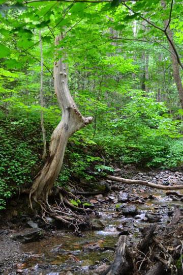 350 Jahre alter Ahornbaum