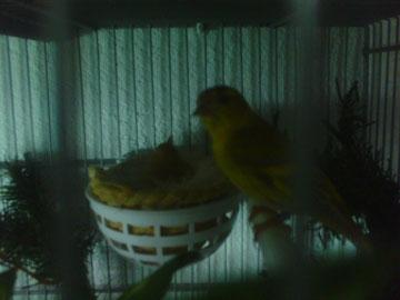 Mi pareja de luganos mutados a incubar 4 huevos