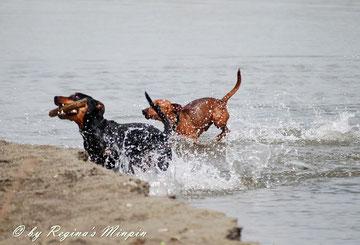 Remo & Rocky toben im Wasser