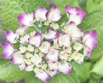 心美の庭に紫陽花が咲きました