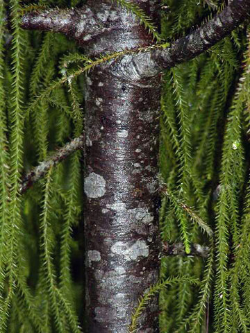 Small Rimu trunk showing characteristic white-on-grey blotches and banding (Gymnosperm Database - click for link)