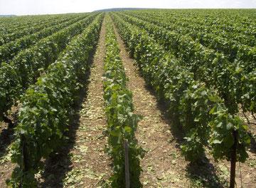 Travailler la vigne