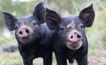 Raising Berkshire, Tamworth, Duroc, Red Wattle and Large Black Hogs