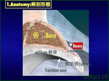 股関節唇の解剖写真