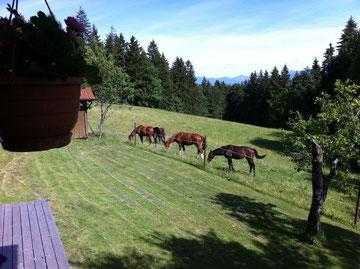 Jungpferde auf der Weide in Hohenpeißenberg