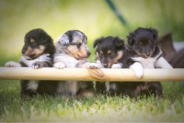 Ronja und Merida die Sheltie Mädls