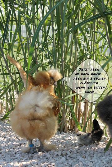 seidenhühner seidenhuhn kärnten klagenfurt pittner grafenstein