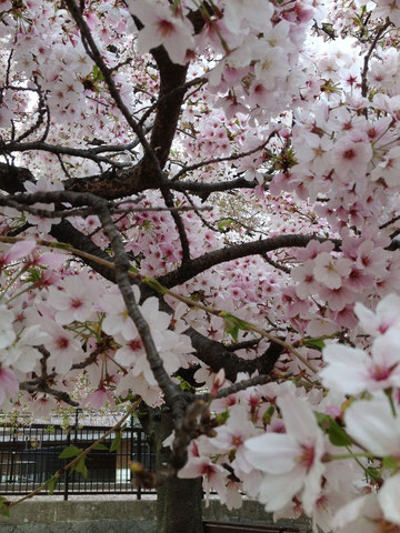 なんとか今年の桜間に合った。。