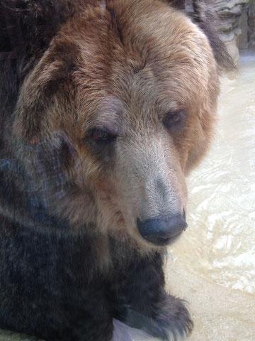 クマさんです。