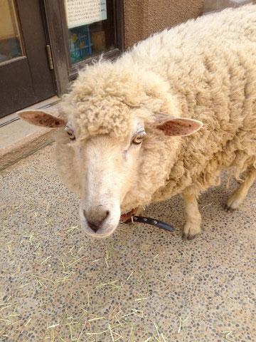 羊さんです。