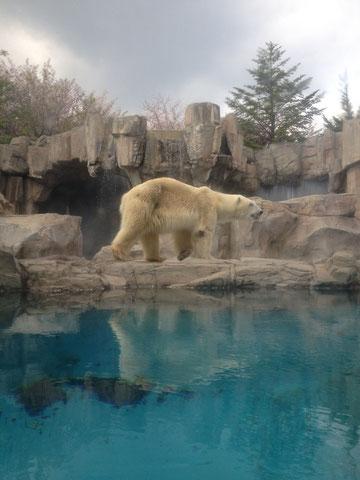 北極グマさんです。