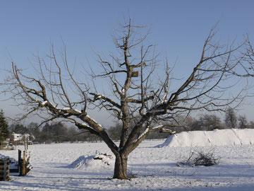 Ein auf 'Oeschberg' umgestellter Boskoop-Baum