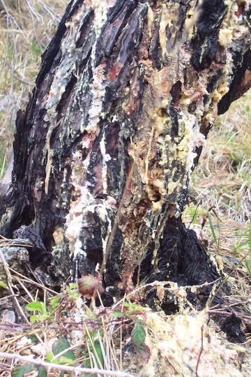 Baum mit Harz
