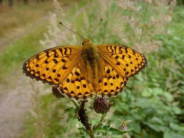 Argynnis aglaja (Männchen). - Dübener Heide, Laußig 13.07.2009 - D. Wagler
