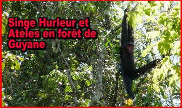 randonnée en guyane singe hurleur et atèles