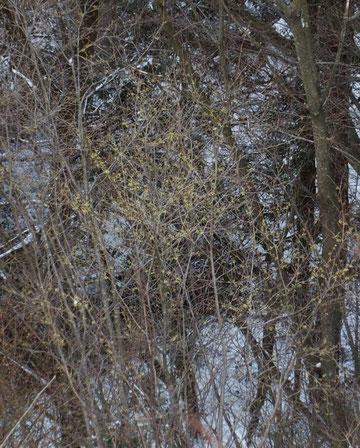 山頂直下の急斜面に咲くマンサク          遠くてうまく写真に撮れないのが残念!!