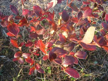 ブルーベリーの紅葉(11~1月)
