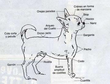 Estándar del chihuahua por el Club del Chihuahua de la Rep. Argentina
