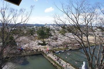 城下町高田に春のじゅうたんが今年も敷き詰められていきます