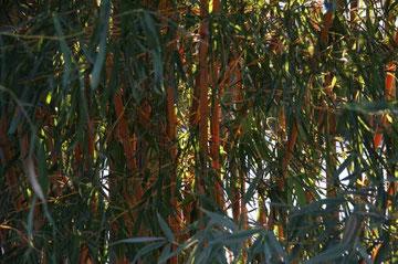 Trauerspiel! Der Winter 2011/12 war hart und mein schöner gelbstingeliger Bambus ist nur noch Heu ...