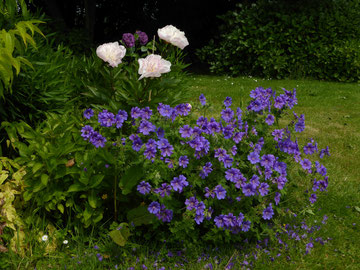 Geranium 'Rosemoor' et Pivoine 'Do Tell'
