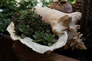 Muschel umfunktioniert als Blumentopf