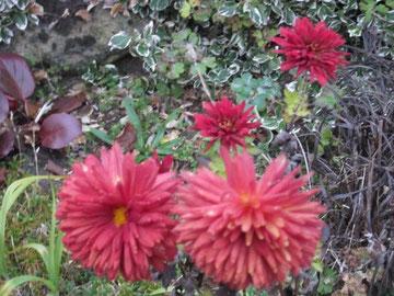 Chrysantheme im November