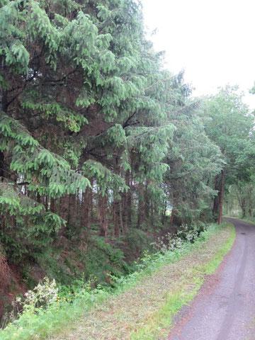 Dunkler Fichtenwald zwischen den Wiesen...