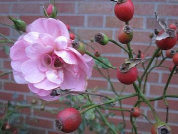 Rose im November - noch zu finden in unserem Garten
