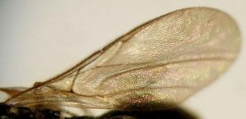 ハエヤドリクロバチ科の一種(前翅)