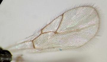 ツヤヤドリタマバチ科の一種(前翅)
