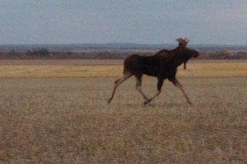ein Elch wandert über die Felder