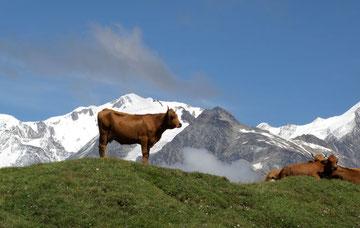 Des vaches très montagnardes, qui grimpent très bien !