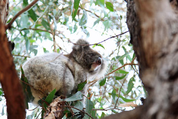 Im Baum neben uns macht sich's ein Koala gemütlich