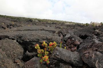 Ein Pflänzchen kämpft sich durch die Lava